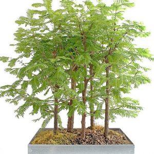 Redwood Bonsai Mini Forest