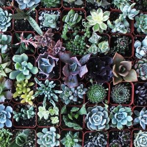 Assorted Succulent Plants Collection