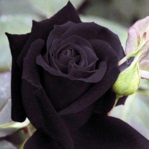 Heirloom Deep Purple Rose Seeds