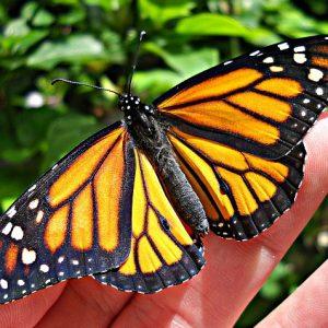 Monarch Butterfly Habitat Kit