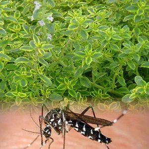 Mosquito Repelling Lemon Thyme Plant