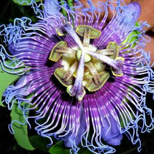 Purple Passion Flower Seeds