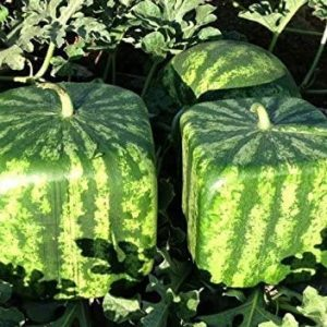Cubed Watermelon Shaping Mold